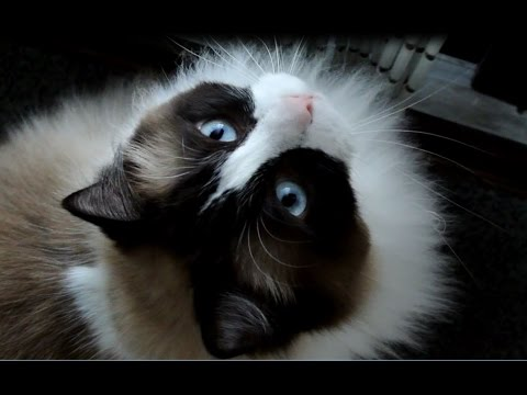 Timo The Ragdoll Cat Meowing