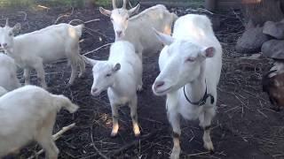 Животные в хозяйстве/Овца или Баран..?