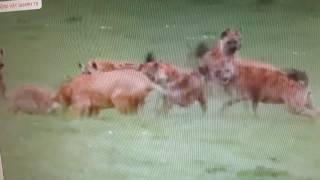 tổng hợp Clip quây được sự  điên rồ của các loài động vật hoang dã