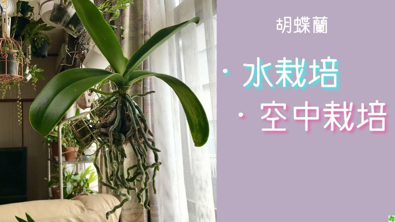 蘭 育て 方 の 胡蝶 【胡蝶蘭の水やり方法】水の量・与え方を写真付き解説|胡蝶蘭ステーション