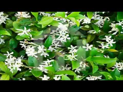 Jasmine Flowers by Kenny G thumbnail