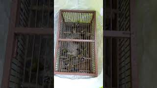 Ловля певчих птиц (щегол, чиж, овсянка, репел)