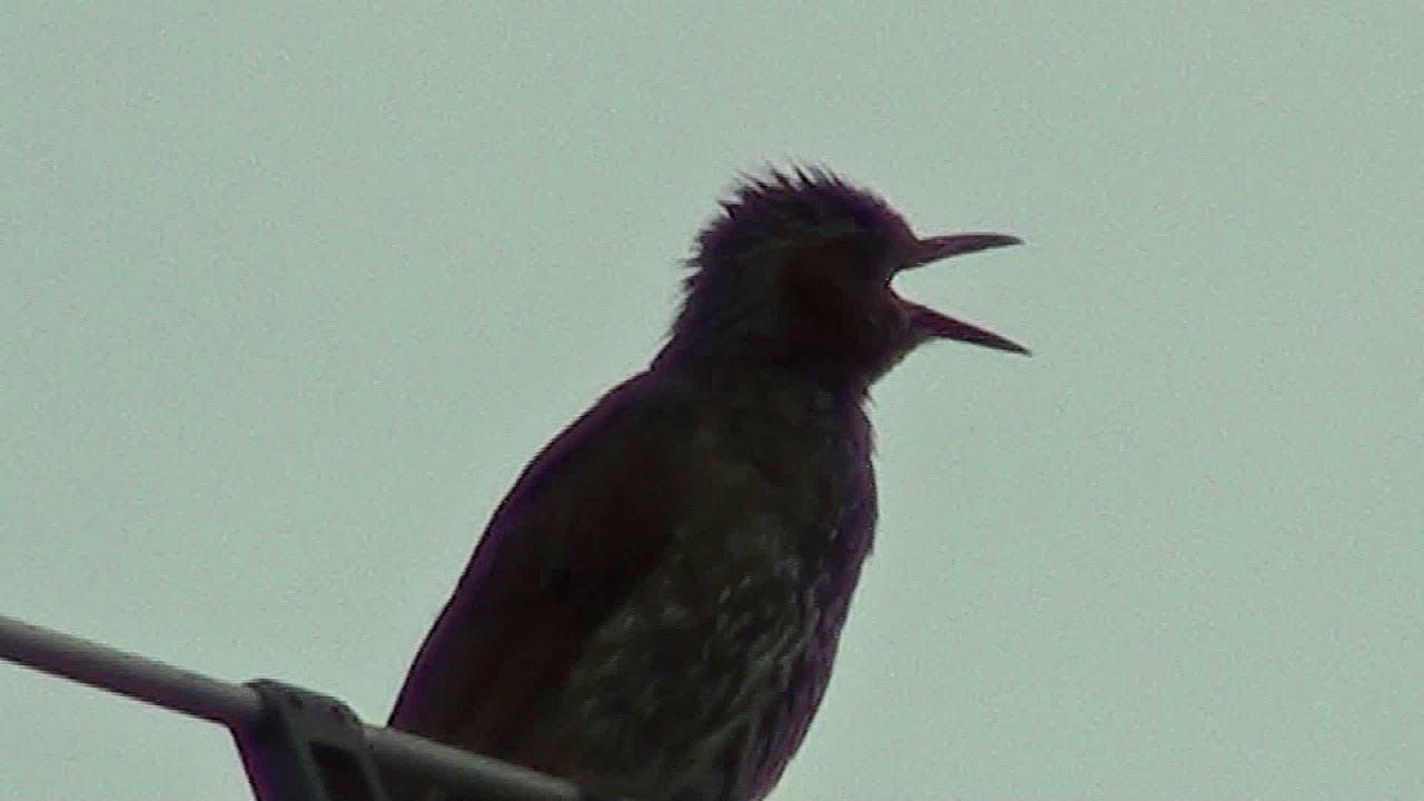 ヒヨドリ の 鳴き声 ヒヨドリの生態・特徴のまとめ。鳴き声ってどんなの!?