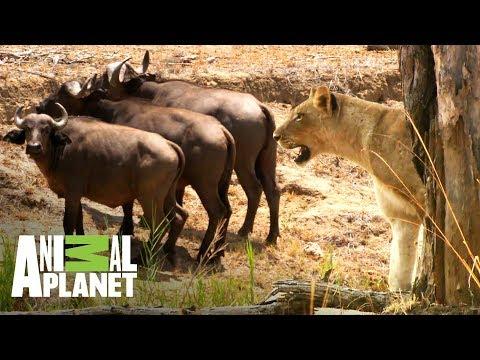 Leonas vs búfalos ¿quién ganará? | Ríos de África | Animal Planet