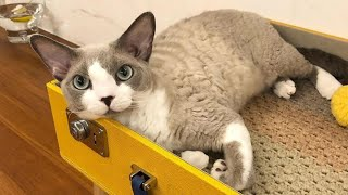 Devon Rex Cat | Devon Rex Kittens Playing