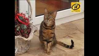 Все о бенгальских кошках: особенности, уход и история породы
