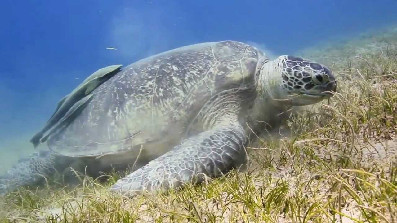 Green Turtle Feeding On Seagrass In Shallow Water