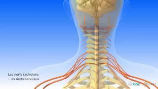 Système nerveux central et système nerveux périphérique