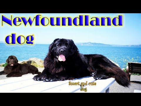 Newfoundland dog is dried by a hair dryer and licked his hand to his master. Compilation