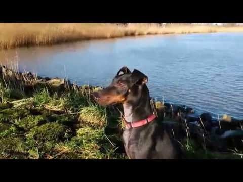 Chester the Manchester Terrier on a sunny winter day at the Lek River