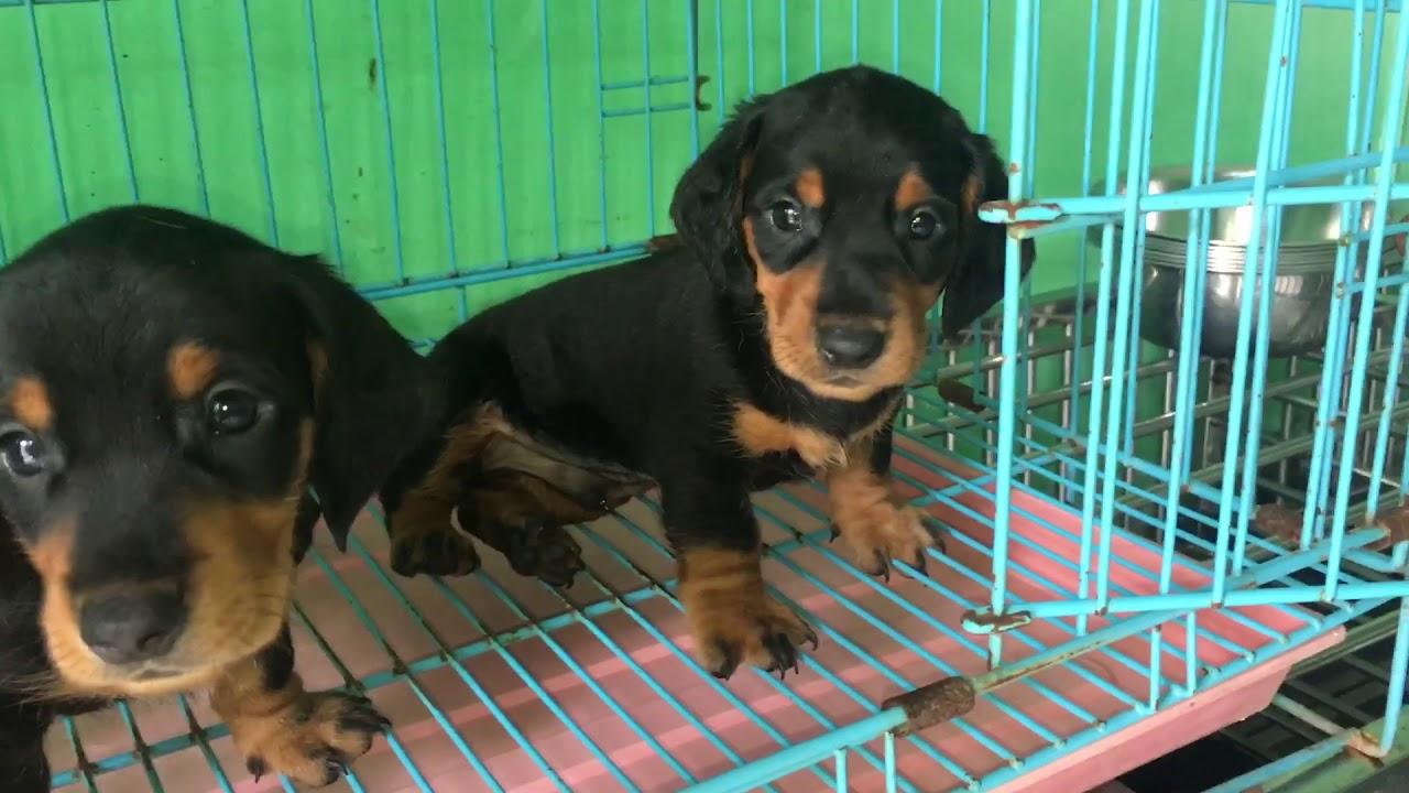 Bán chó lạp xưởng thuần chủng giá rẻ tại tp hcm 2018 0986006465