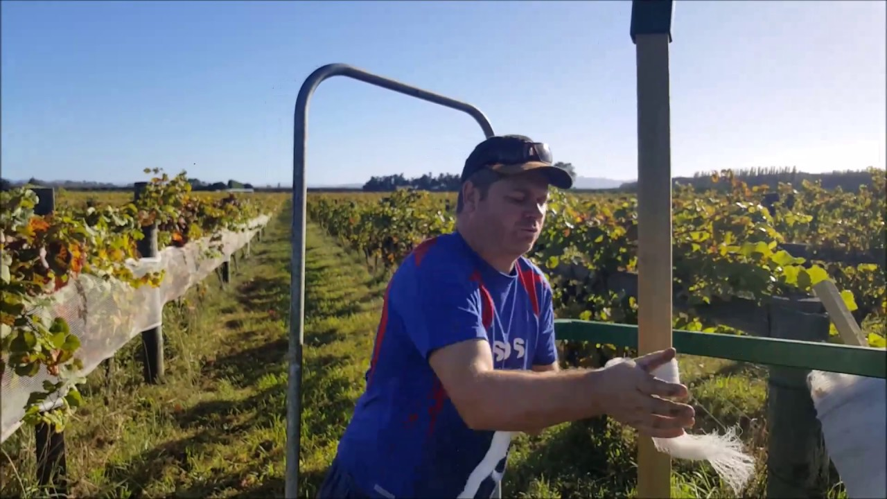 Protecting Grapes Vineyards from Birds - How to take off Nets