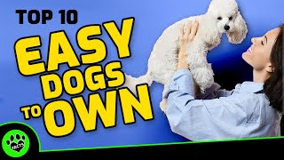 Top 10 Easiest Dog Breeds To Own   TopTenz