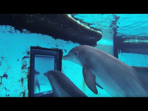 Just how smart are dolphins?  - Inside the Animal Mind - BBC
