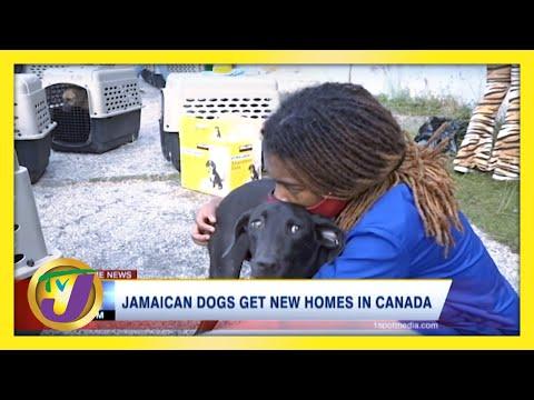 140 Jamaican Mongrel Dogs Get Canadian Residency | TVJ News