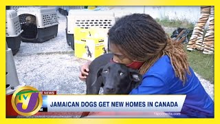 140 Jamaican Mongrel Dogs Get Canadian Residency | TVJ News - March 15 2021