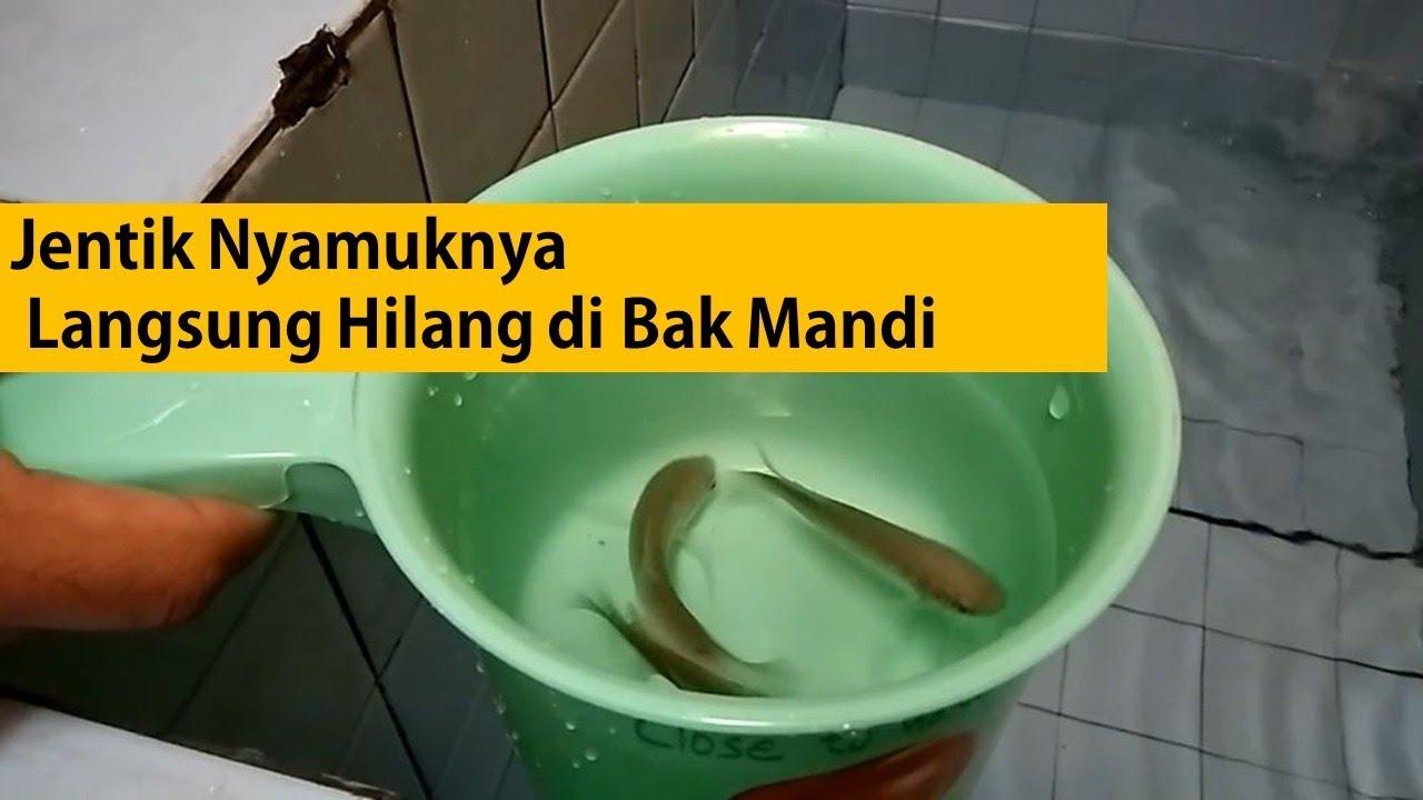 Mengatasi Jentik Nyamuk Bak Mandi - YouTube