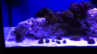 33 gallon long reef tank