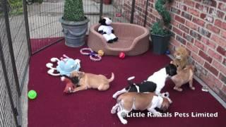 Little Rascals Frug Puppies