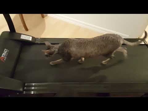 Cornish Rex cat having fun on treadmill
