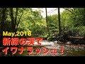 新緑の渓でイワナラッシュ!@北海道の渓流でルアー釣り☆ May,2018 Hokkaido.Mountai…