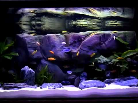 African Cichlids Community Tank - Day 25