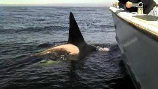 Monterey Bay Whale Watch - Killer Whales / Orcas Up Close