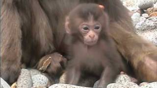 波勝崎苑の猿(母ちゃんにしがみつく)Japanese Macaque Monkeys