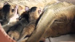 Абиссинские котята 2 дня от рождения Брянск 3.11.2015