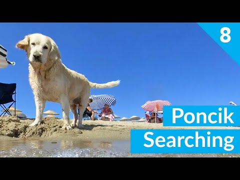 Funny Dog Poncik is Quest For Frisbee #8 - Golden Retriever