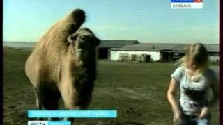 Двухметровый верблюд по кличке Масяня