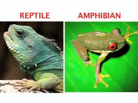 What's the difference between an amphibian and a reptile? Fi
