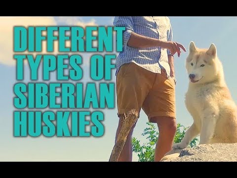 Different Types of Siberian Huskies (English)