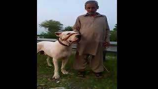 Big Mouth White Bully Kutta  || Bully Dog Pakistan!!