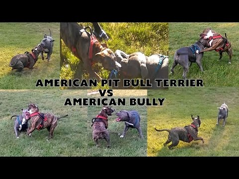 American Pit Bull Terrier VS American Bully - NyiDro Bloodlines