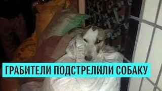 Спасение собаки, пострадавшей от грабителей