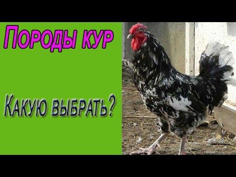 Породы кур. Какую породу кур выбрать для дома?