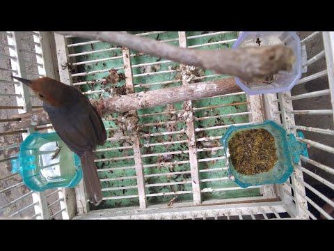 Suara Burung Prenjak Cinenen