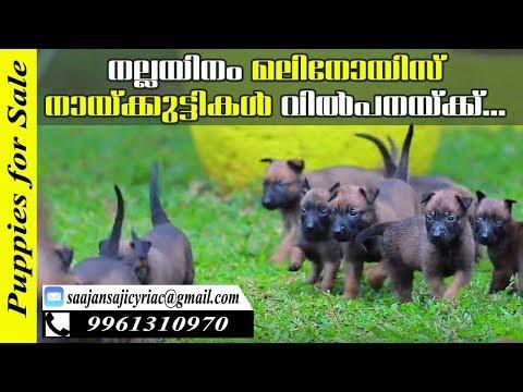 Malinois Puppies for Sale / Saajan Saji Cyriac k9 Training School, Pala, Kerala
