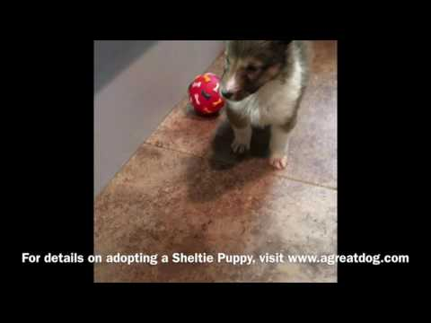 Male Sheltie Puppy Reserved