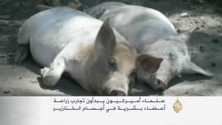 فيديو..تجارب زراعة أعضاء بشرية بأجسام الخنازير