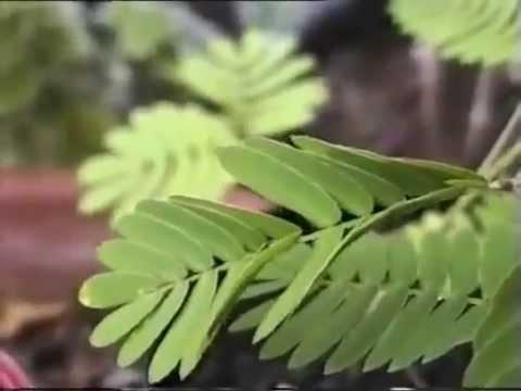 Mimosa sensitiva la planta que se mueve youtube for Que se planta en septiembre