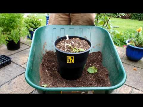 HGV Grow Potatoes. How deep should I plant my Potatoes + Potato reveal. Start to Finish.