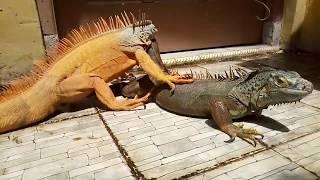 Begini proses K1MP0Y iguana yang harus kamu perhatikan dan ketahui