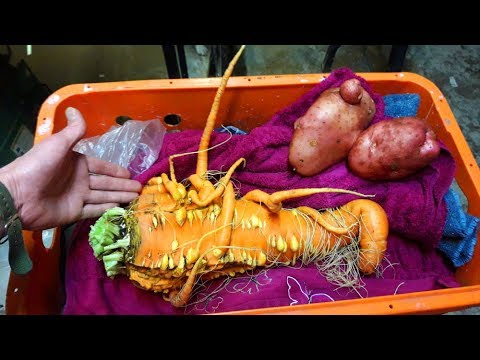 Allotment Diary : Harvesting the Giant Carrots & Potatoes.