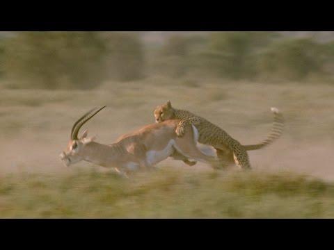 Gazela i gepard