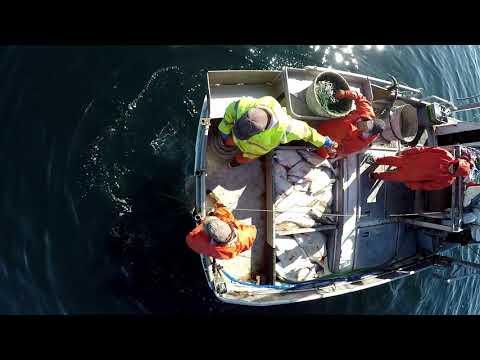 Halibut Longlining - Alaska Halibut Fishery