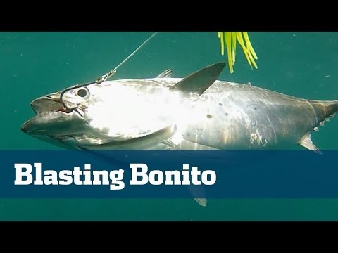 Non Stop Bonito Action Its A Blast