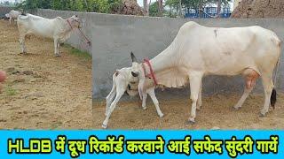 HLDB मे दूध रिकॉर्ड करवाने आई हरियाणा नस्ल की सफेद सुंदरी गायें👍 Top beautiful Haryana Desi Cows