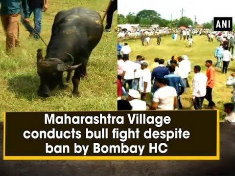 Maharashtra Village conducts bull fight despite ban by Bombay HC - Maharashtra News